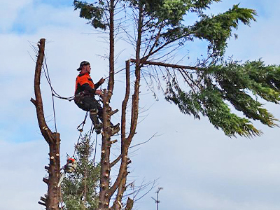 Tree surgeon Services in Edgeware and local area