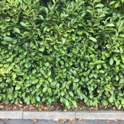 Hedge Cutting Expert St Albans